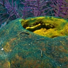 Barrel Sponge with Cleaning Goby.