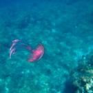 Warty Jellyfish