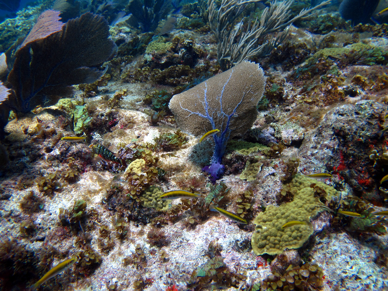 Juvenile Stoplight Parrotfish and juvenile and transitional Blueheads