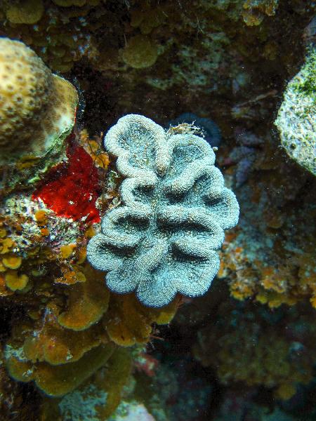 Ridged Cactus Coral