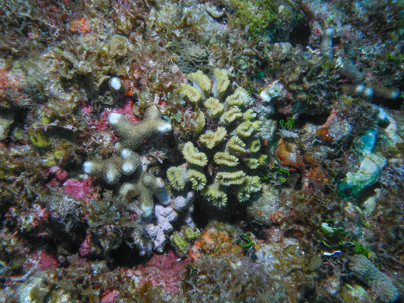 Finger Coral and Smooth Flower Coral