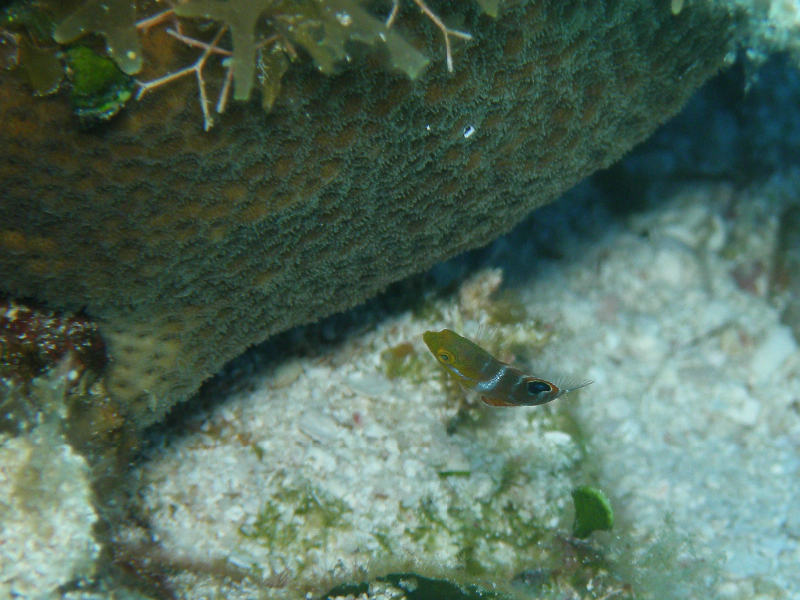 Juvenile Puddingwife