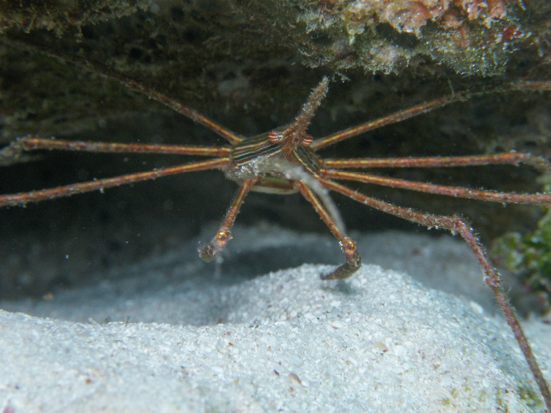 Yellowline Arrow Crab