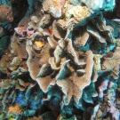 Thin Leaf Lettuce Coral