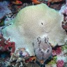 Symmetrical Brain Coral and Black Ball Sponge