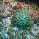 Sinuous Cactus Coral