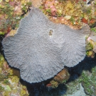 Knobby Cactus Coral