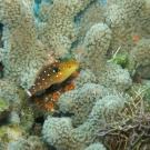 Juvenile Stoplight Parrotfish
