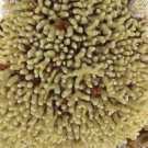 Yellow Pencil Coral