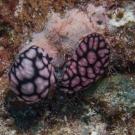 Pimpled Phyllidiella