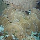 Pachyris coral