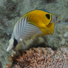 Threadfin Butterflyfish swimming over a Pineapple Sea Cucumber.