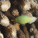 Longnose Filefish.