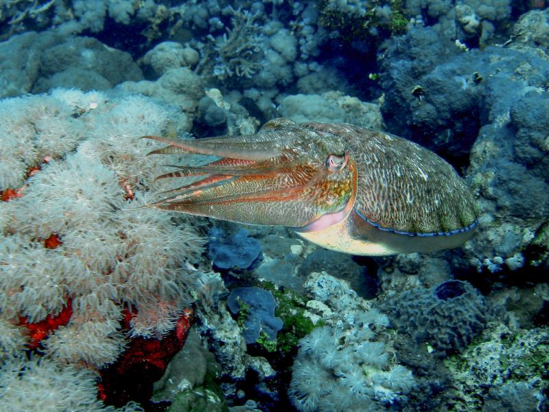 cuttlefish-3