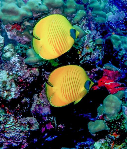 pair-butterflyfish