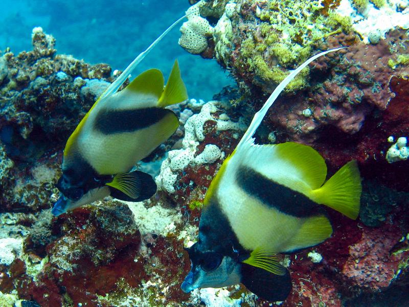 pair-of-bannerfish