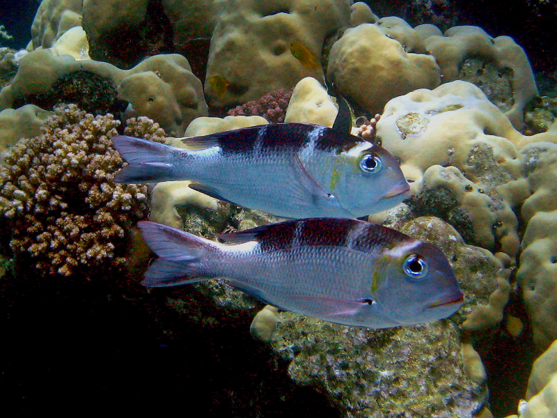 pair-of-fish