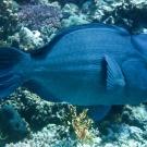 bumphead-parrotfish