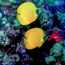 pair-butterflyfish
