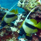 pair-of-bannerfish