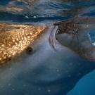 whale-shark-feeding