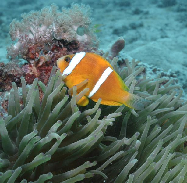 anenomefish-1-may-8-ah