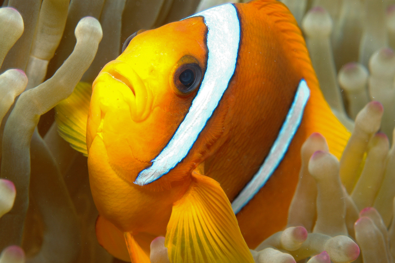 anenomefish-4-may-15-ah