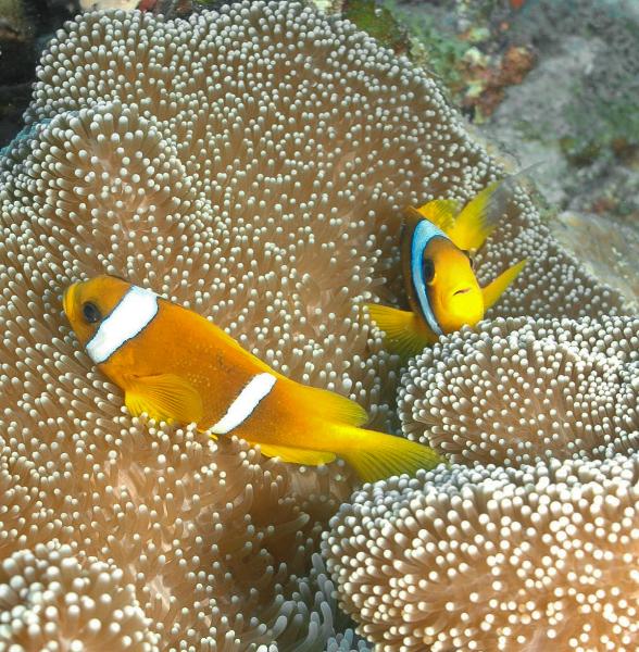 clownfish-2-may-9-ah