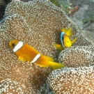 clownfish-2-may-9-ah
