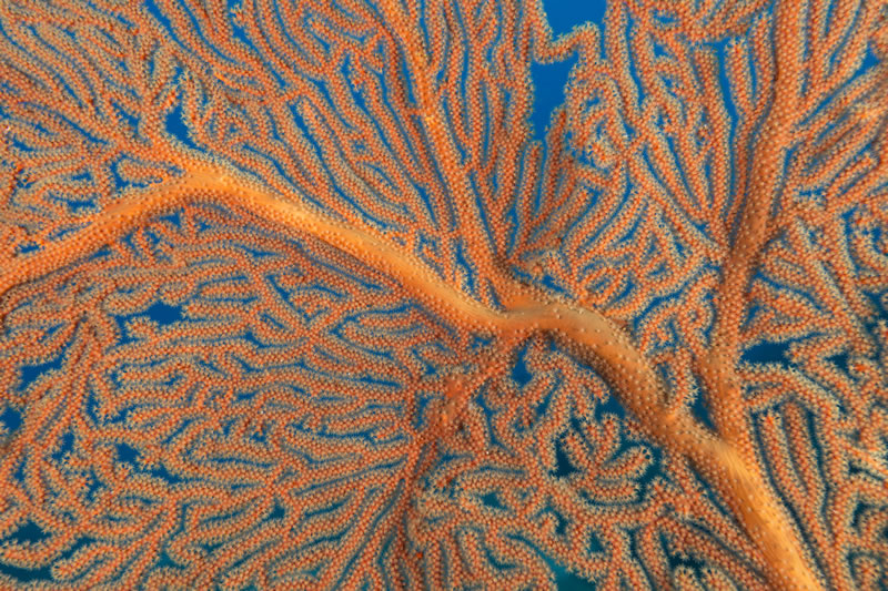 A gorgonian fan coral filtering plankton from the current.