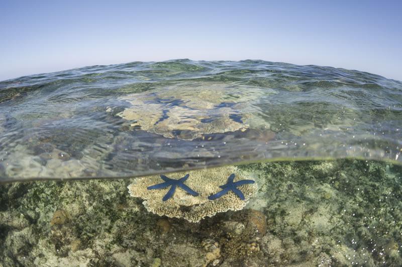 Blue linkia starfish sit atop a table of Acropora coral at low tide.