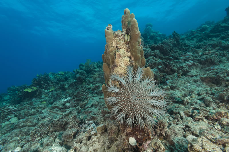 Crown of thorns starfish (Acanthaster planci) on the side of a coral, digesting it with its stomach. Otherwise known as COTS,  this animal is a large, multiple-armed starfish (or seastar) that usually preys upon hard, or stony, coral polyps (Scleractinia). The crown-of-thorns receives its name from venomous thorn-like spines that cover its upper surface, or the crown of thorns. It is one of the largest sea stars in the world and is very destructive as it voraciously feeds on healthy corals.