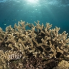 Healthy Acropora branching corals on the Great Barrier Reef.