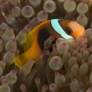 Red and black Anemonefish (Amphiprion melanopus) hide in an anemone.