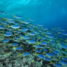 Schools of blue and yellow fusiliers (Caesio teres) roam the edge of the outer Great Barrier Reef feeding on passing plankton.