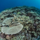 The Global Reef Expedition comes across a very rich and expansive field of acropora table coral at the outer edge of the Great Barrier Reef.