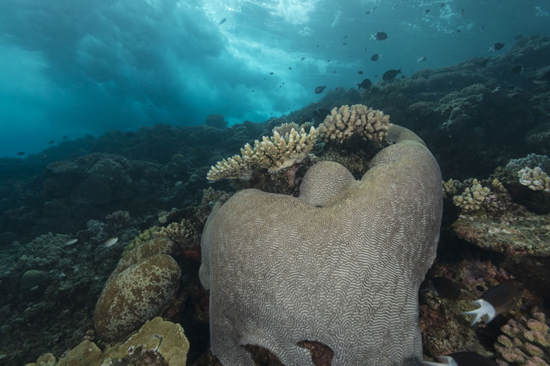 Waves crash behind a dome-shaped colony of Platygyra corals with branching Acropora corals growing above it on the outer edge of the Great Barrier Reef.