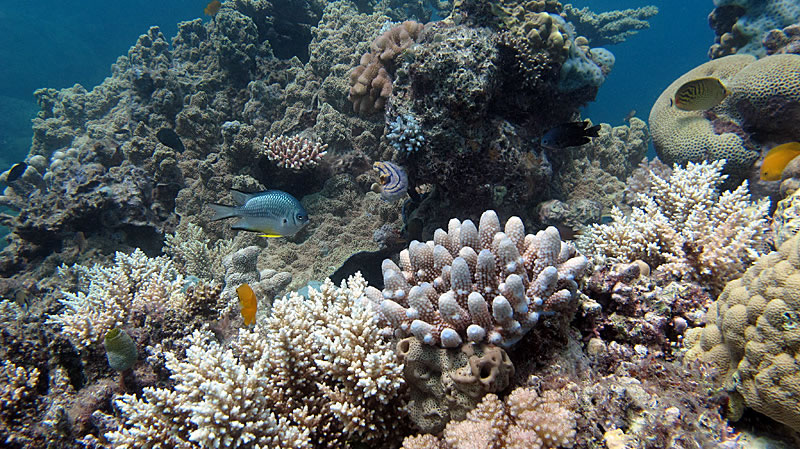 Acropora coral assortment with White-belly Damsel.