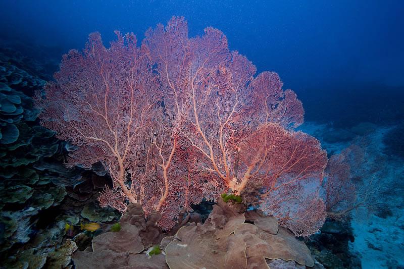 Very large Annella reticulata pink sea fan.
