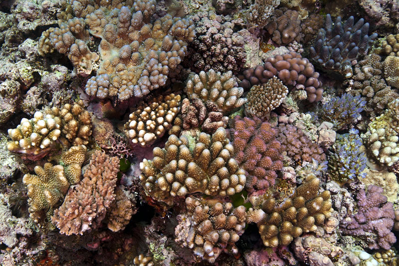 A colorful assortment of acroporid and pocilloporid corals cover the shallow reef crest.