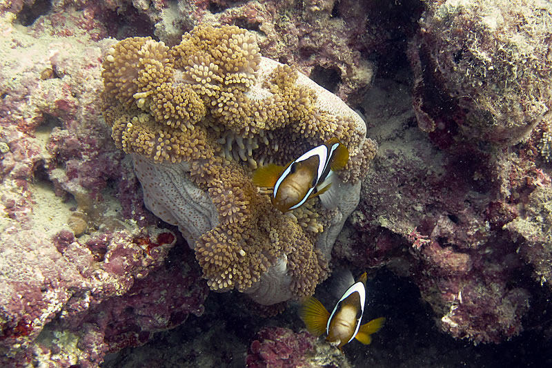 Barrier Reef Anemonefish (Amphiprion akindynos) in host anemone,