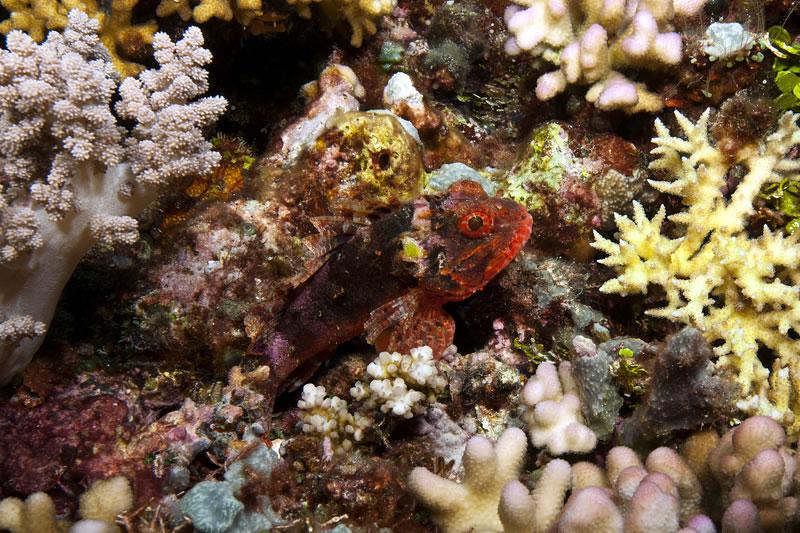Blotchfin Scorpionfish (Scorpaenodes varipinnis)