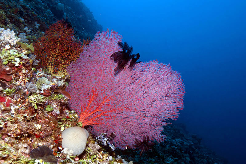 Brightly colored sea fans growing perpendicular to the usual flow of current to facilitate filter feeding.