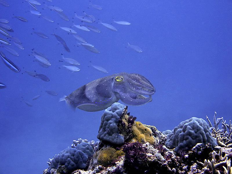Broadclub Cuttlefish (Sepia latimanus).
