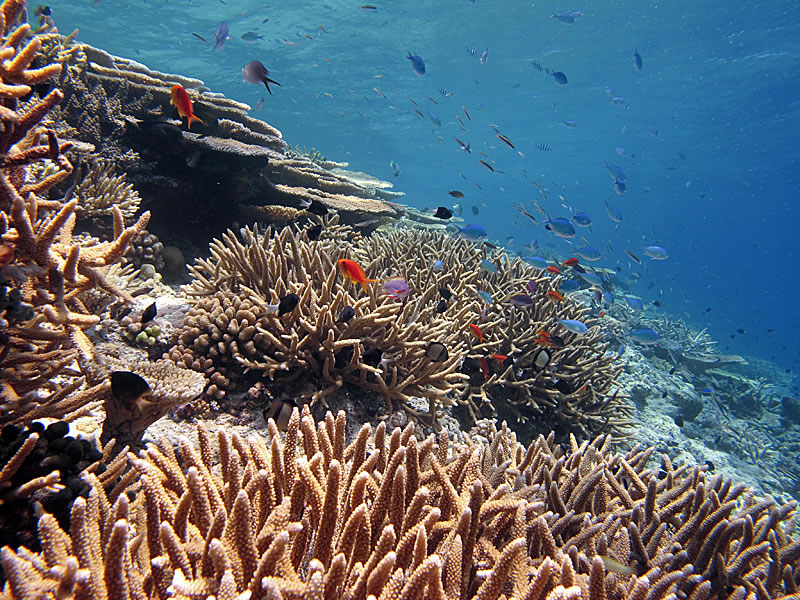 Bushy thickets of Acropora corals in the shallows.