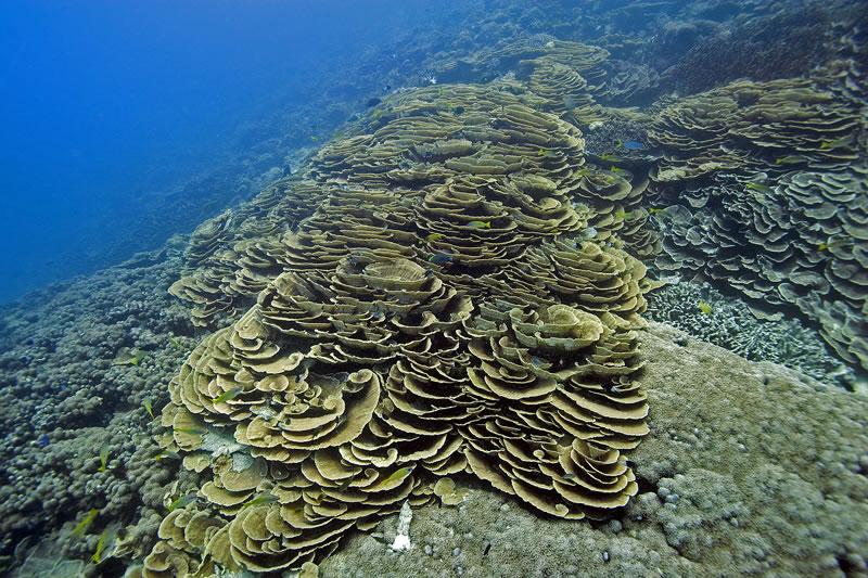 Cascading plates of Leptoseris coral.