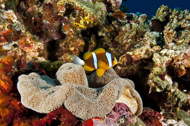 Clark\'s Anemonefish (Amphiprion clarkii) with its host Sticky Anemone (Stichodactyla sp.).