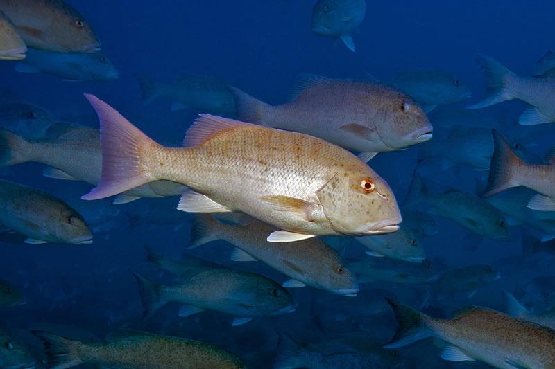 Close-up of Chinamanfish (Symphorus nematophorus).
