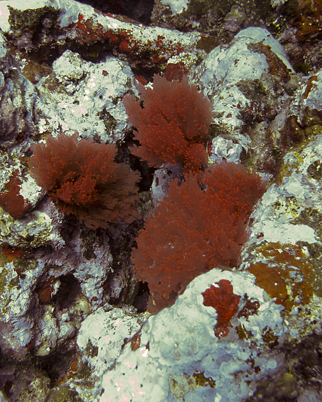 Clumps of red algae.