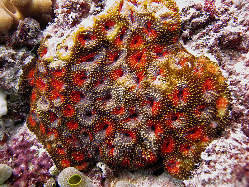 Colorful Acanthastrea coral showing interesting fluorescent patterns.